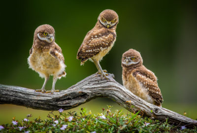 three burrowing owl chicks stand on a perch overtop of a small mound of flowers in Cape Coral, Florida.