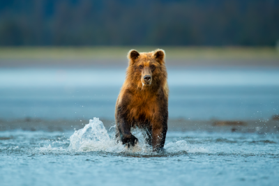 brown-bear-fishing-